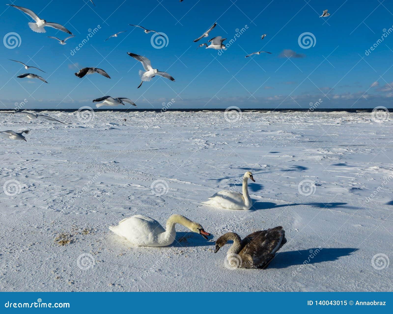 Frysa på isen av de Riga fjärdsvanarna i vintern av 2018