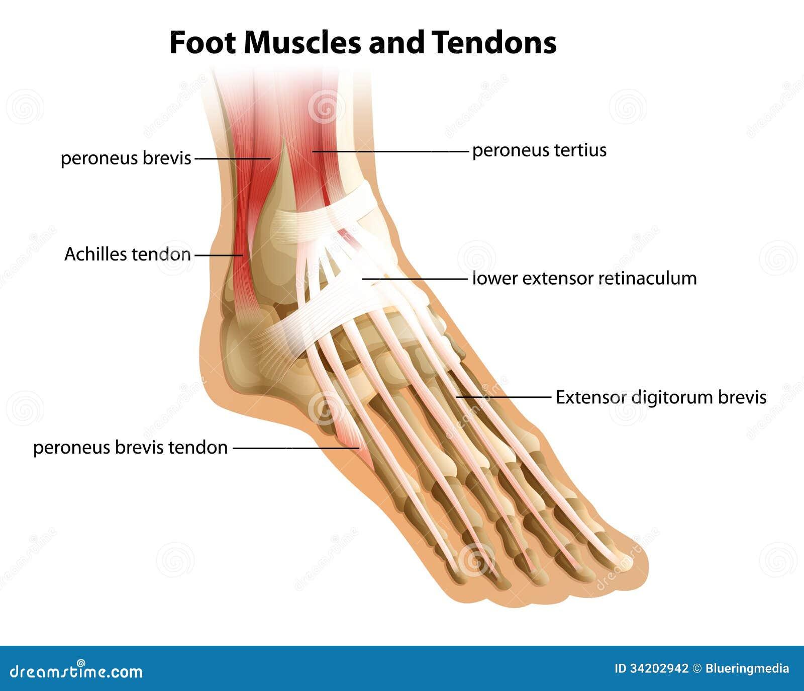 Fuß-Muskeln und Sehnen stock abbildung. Illustration von überlegen ...