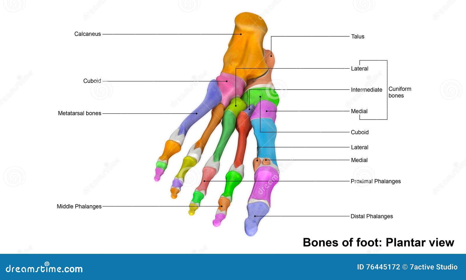 Ungewöhnlich Fuß Lymphknoten Fotos - Menschliche Anatomie Bilder ...