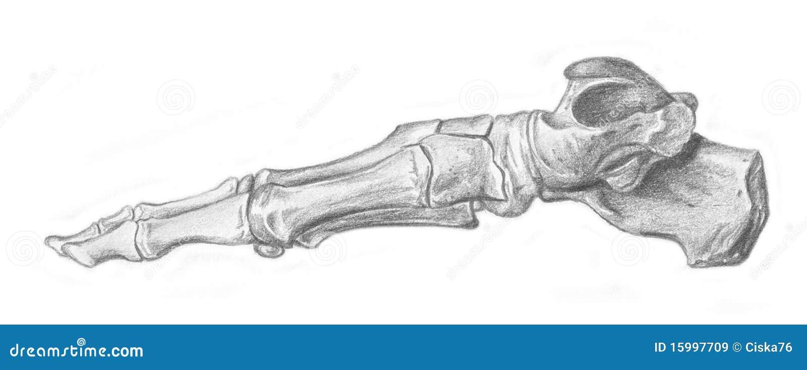 Fuß - Skelett stock abbildung. Illustration von ikone - 15997709