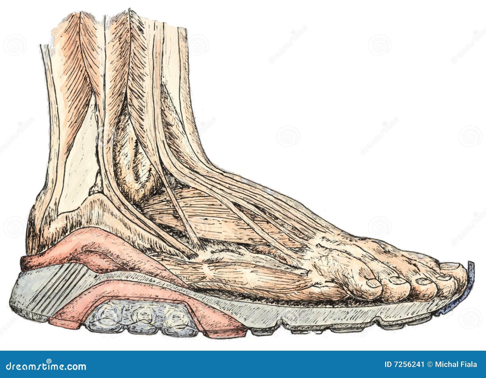 Fußanatomie stock abbildung. Illustration von sehne, zeichnung - 7256241