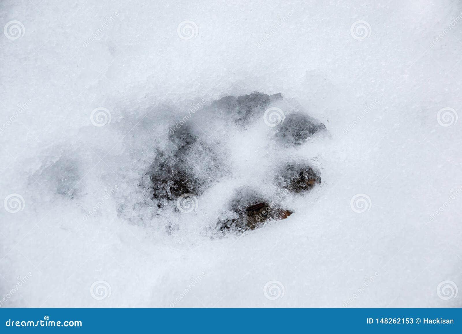 Fußdruck eines Hundes oder des Wolfs auf dem weißen Schnee
