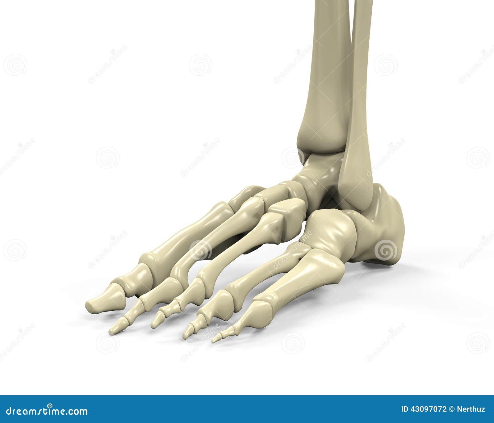 fu skelett anatomie stock abbildung bild 43097072. Black Bedroom Furniture Sets. Home Design Ideas