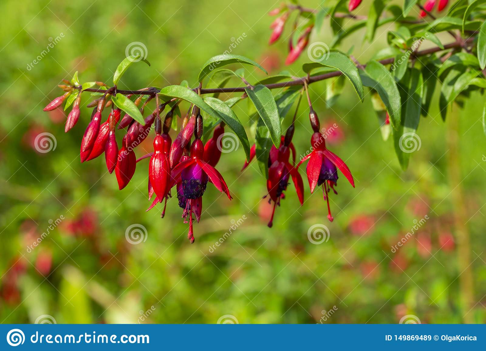 Fuchsia Blooming Cute Red Flowers A Branch Of An Evergreen