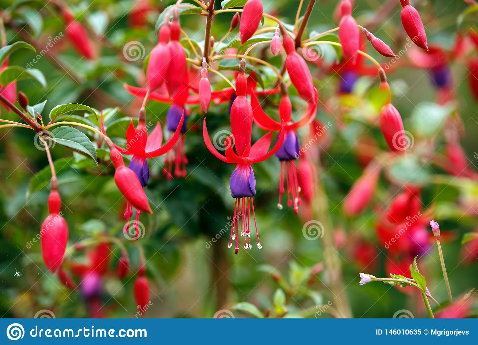 Fuchsia blossom closeup in home green garden