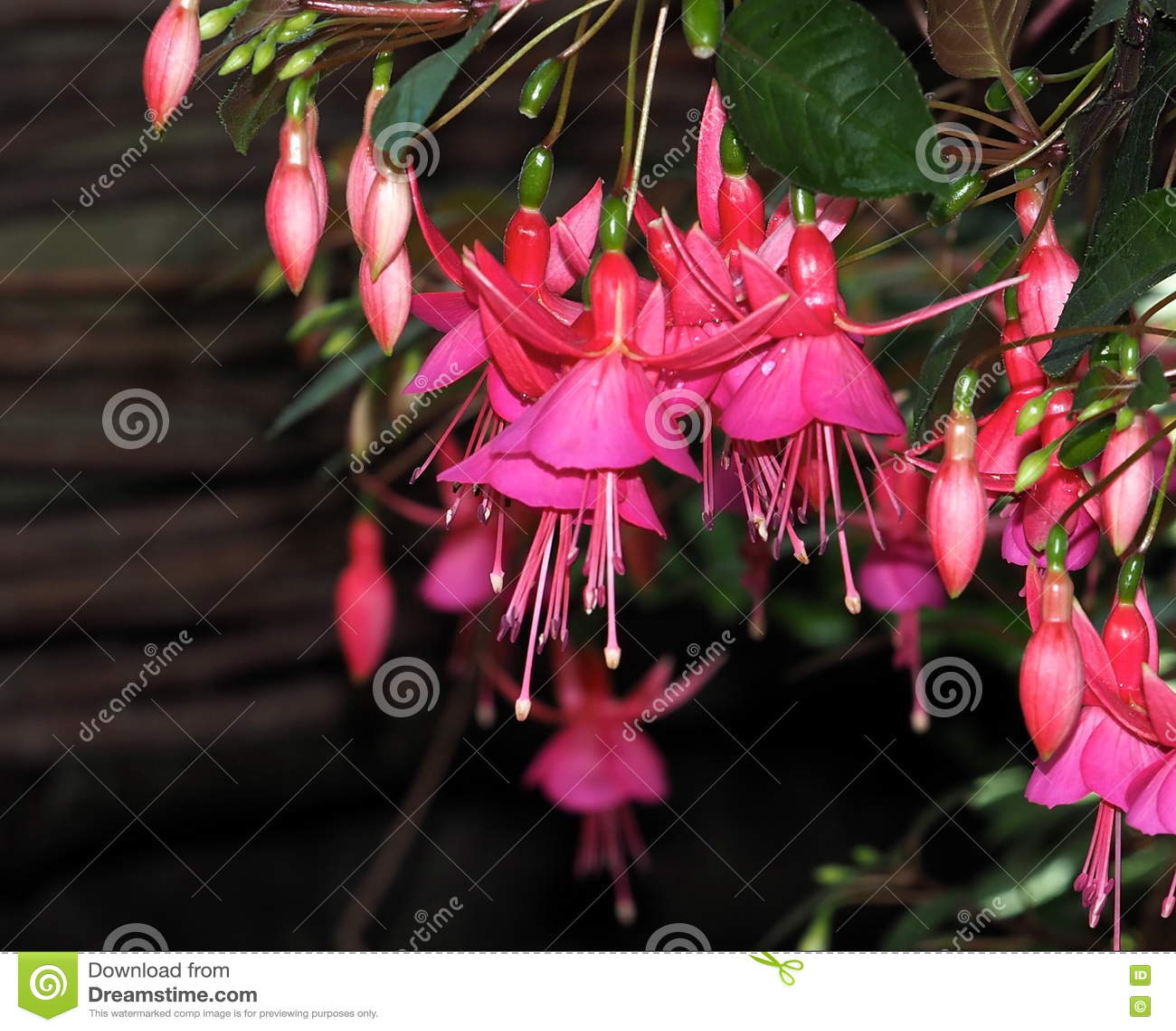 Fuchsia en fleur