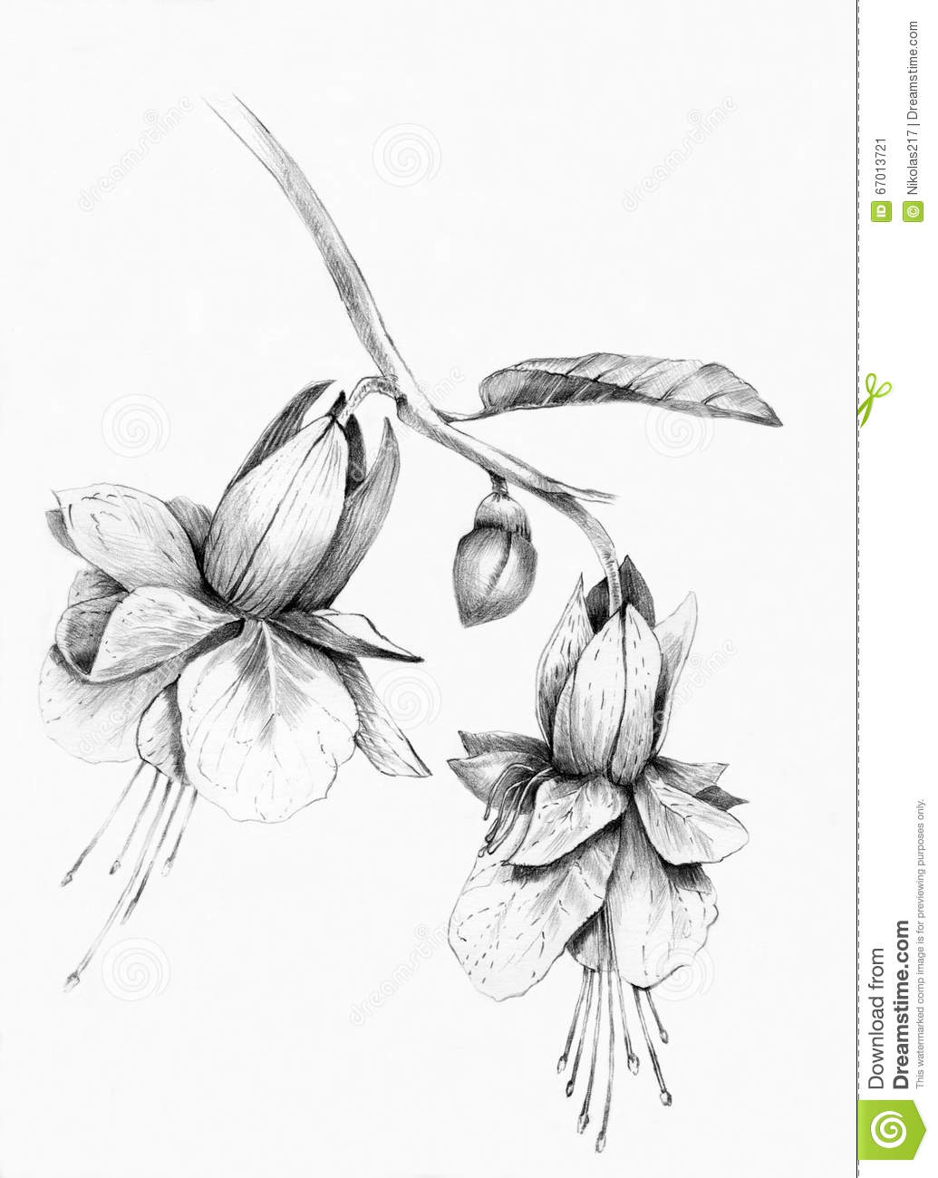 Sketch Of Fuchsia Flower Leaves And Buds Isolated On White Background. Round Composition With ...