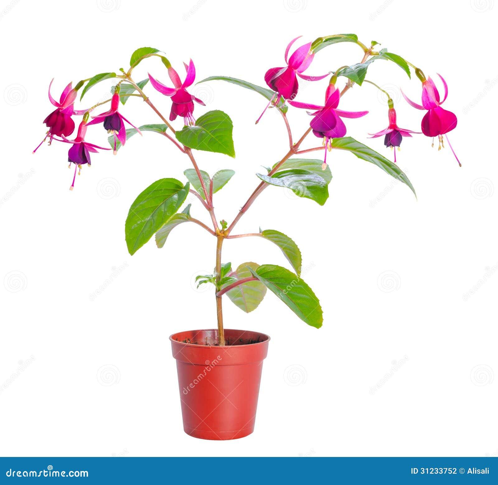 Fuchsia Flower Houseplants In Flower Pot Stock Photo Image Of