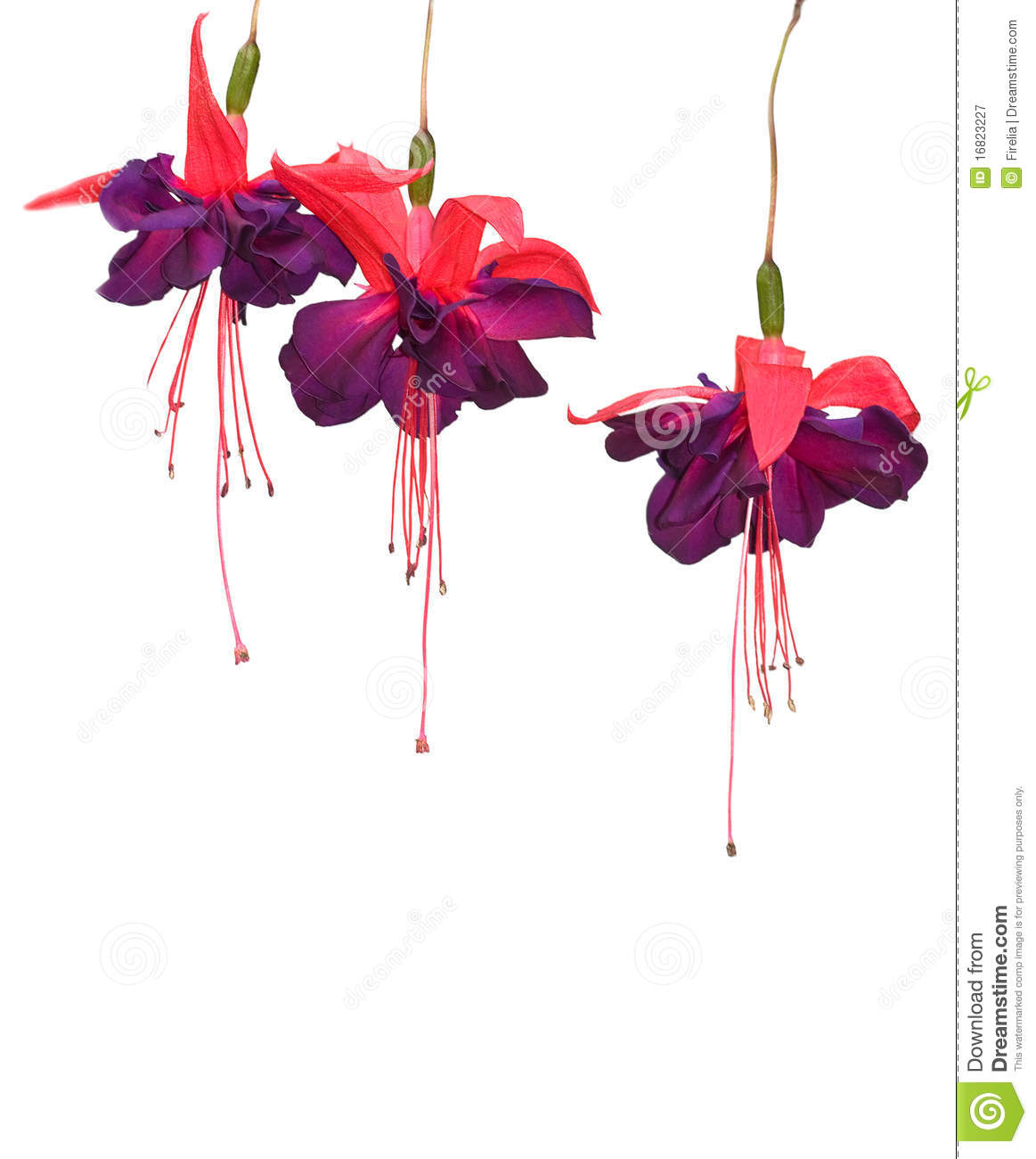 Fuchsia Flowers Isolated Royalty Free Stock graphy Image