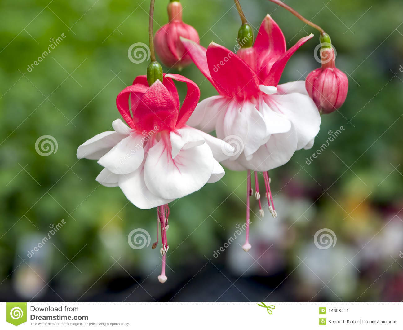 Fuchsia Red And White Flowers Stock Image Image Of Hybrid