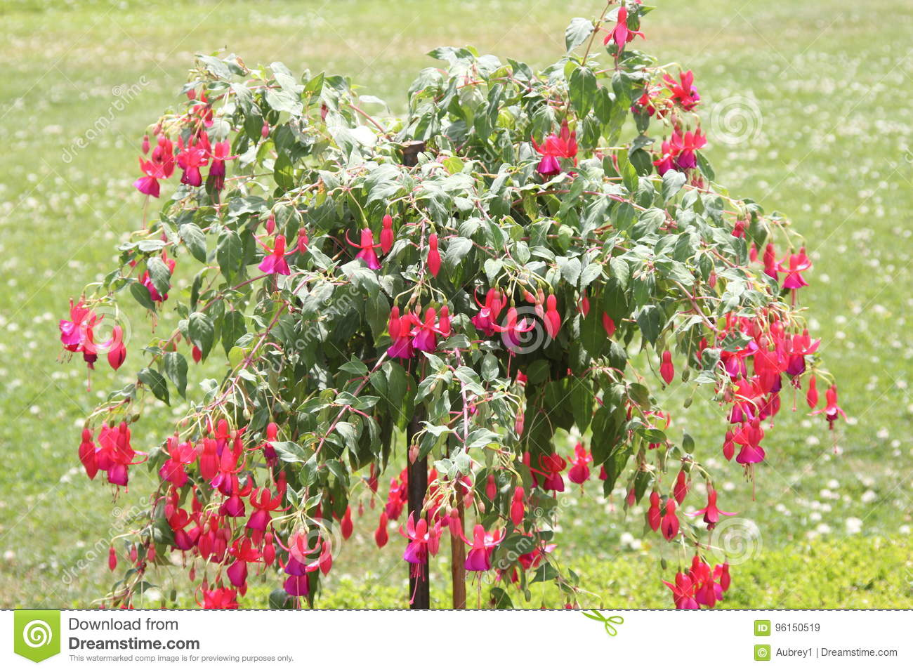 Fuchsia Tree With Red Flowers Stock Image Image Of Blossom