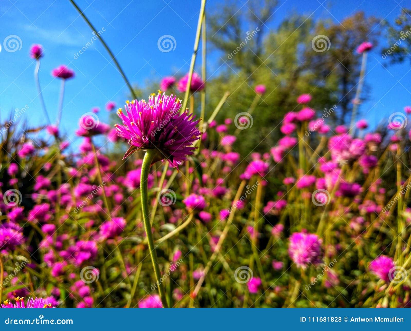 Fuchsiakleurig Alliumbloei tegen de blauwe hemel