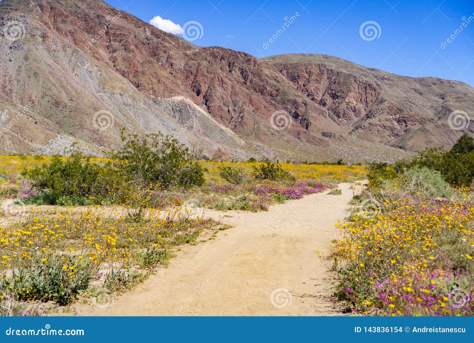 Fuga de passeio alinhada com canescens de Geraea dos girassóis de deserto e Abronia de florescência Villosa do verbena de areia e