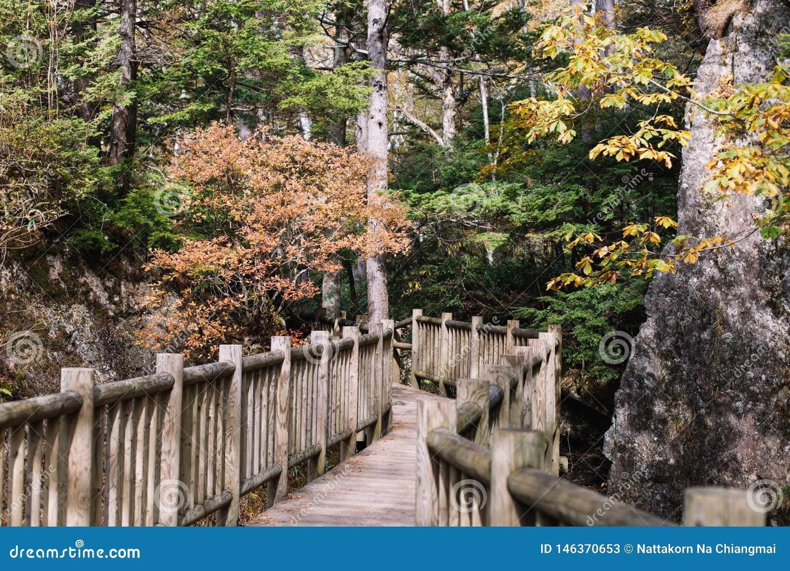 Fugas de natureza de Kamikochi com a ?rvore em mais forrest durante a esta??o do outono pelo walkpath de madeira