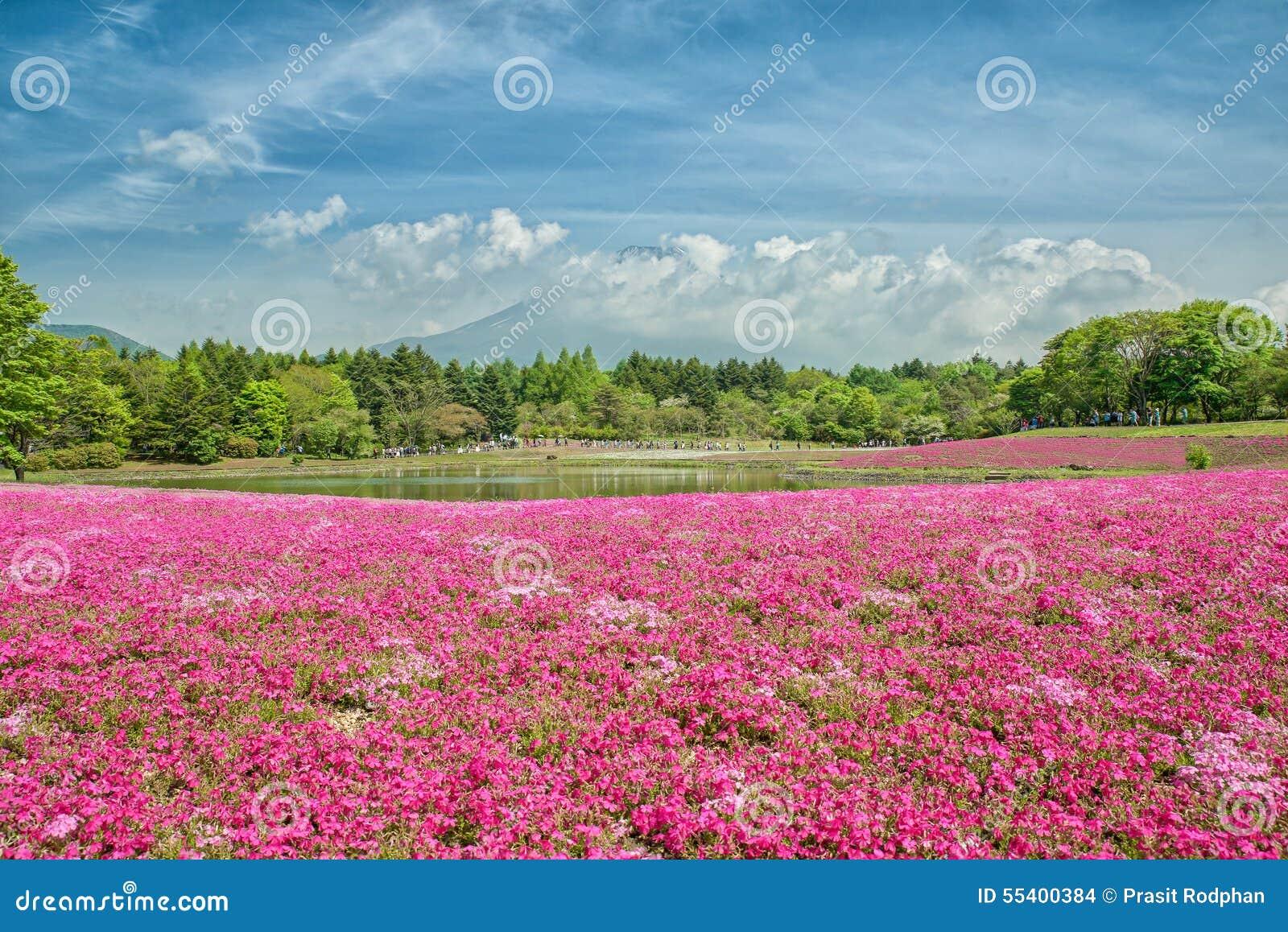 Fuji with the field of pink moss at Shibazakura festival, Japan