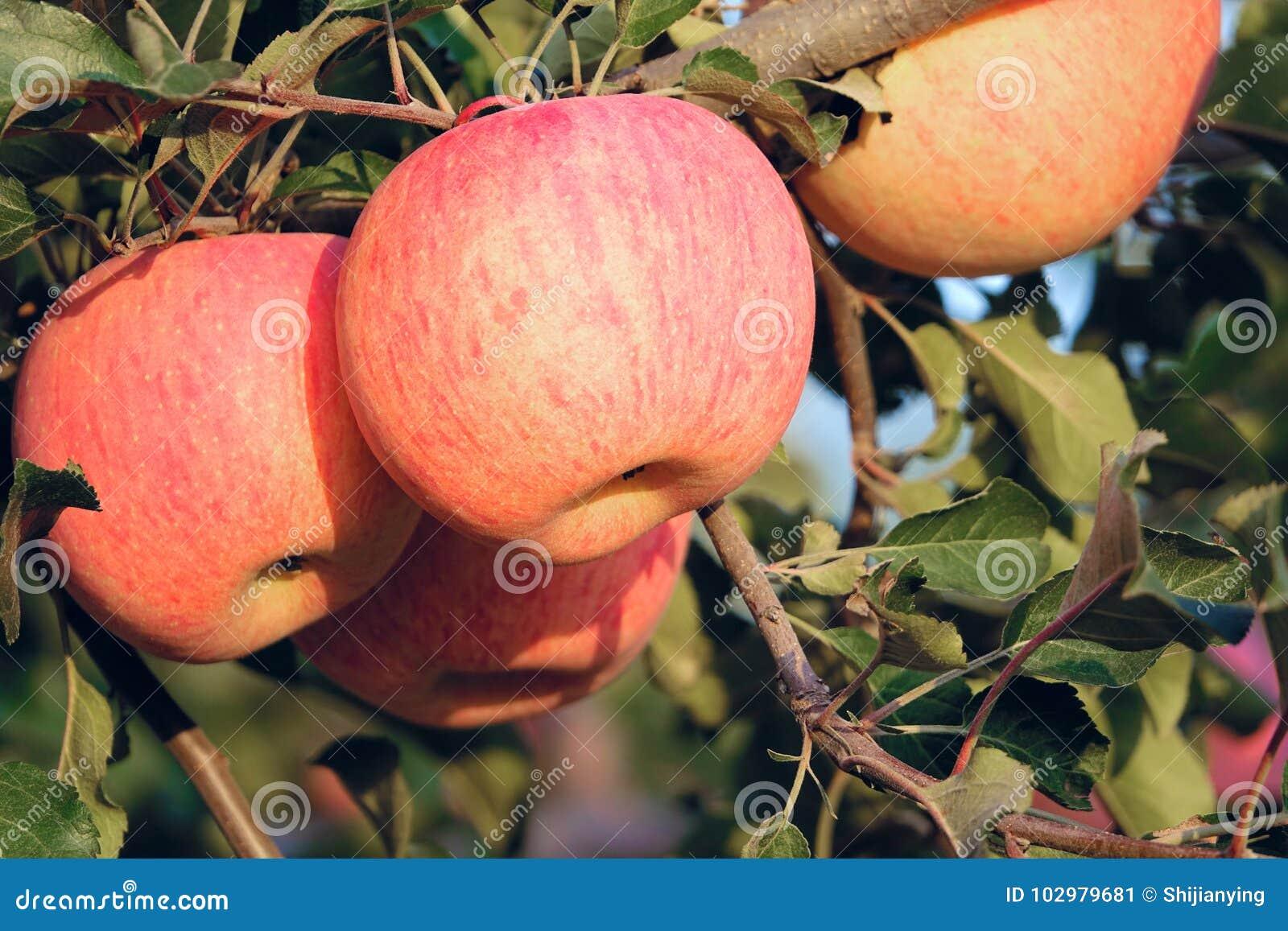 Fuji jabłka