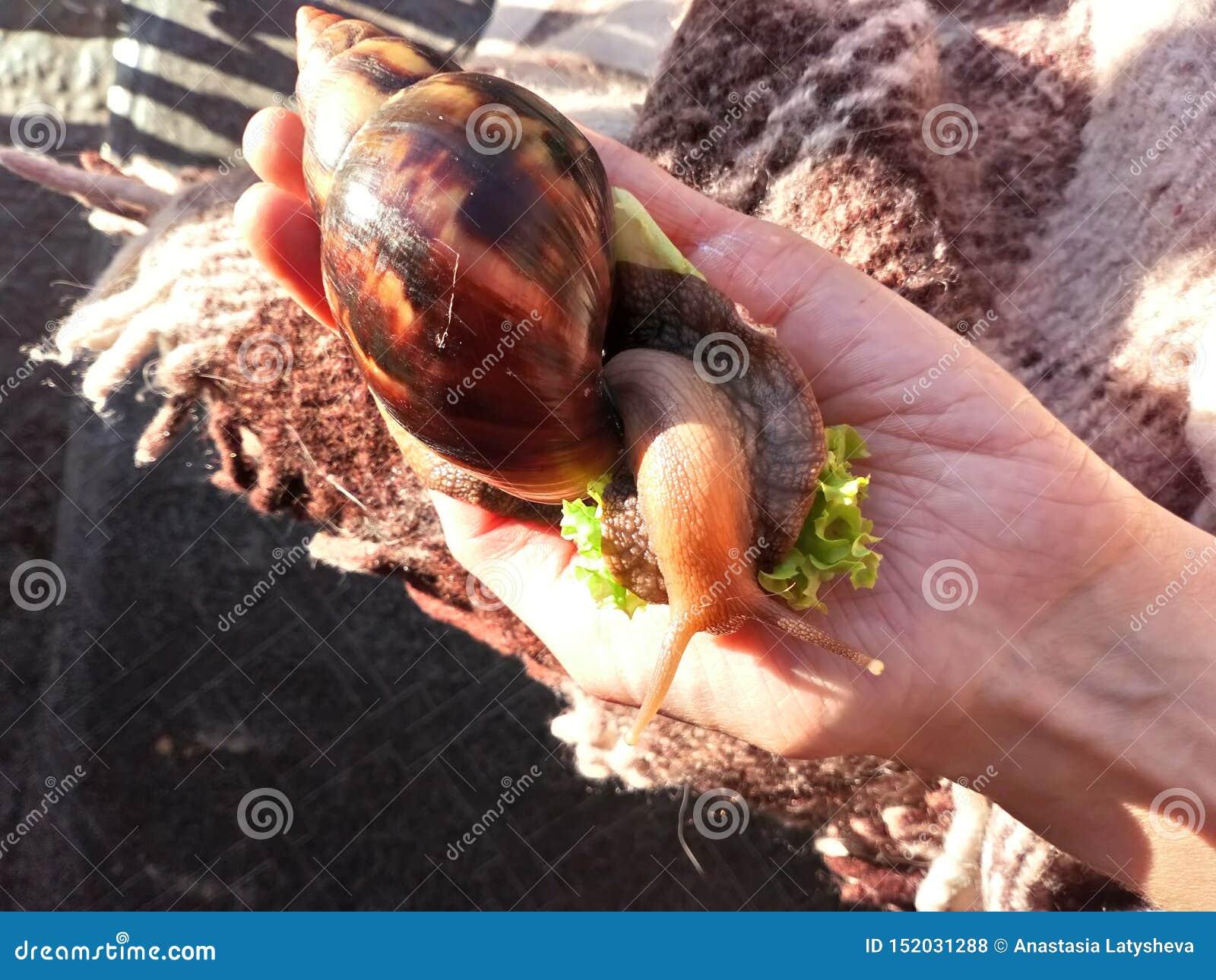 Fulica de Achatina del caracol