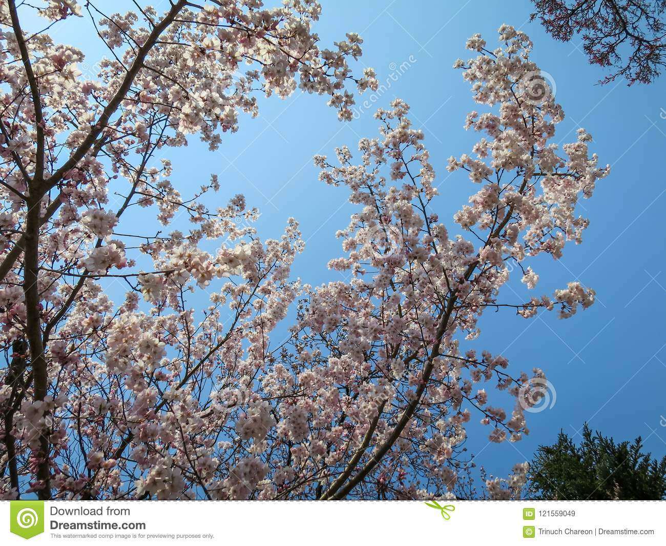Full bloom sweet pink sakura branches and green tree with blue sky full bloom sweet pink sakura branches and green tree with blue sky background on sunshine day izmirmasajfo