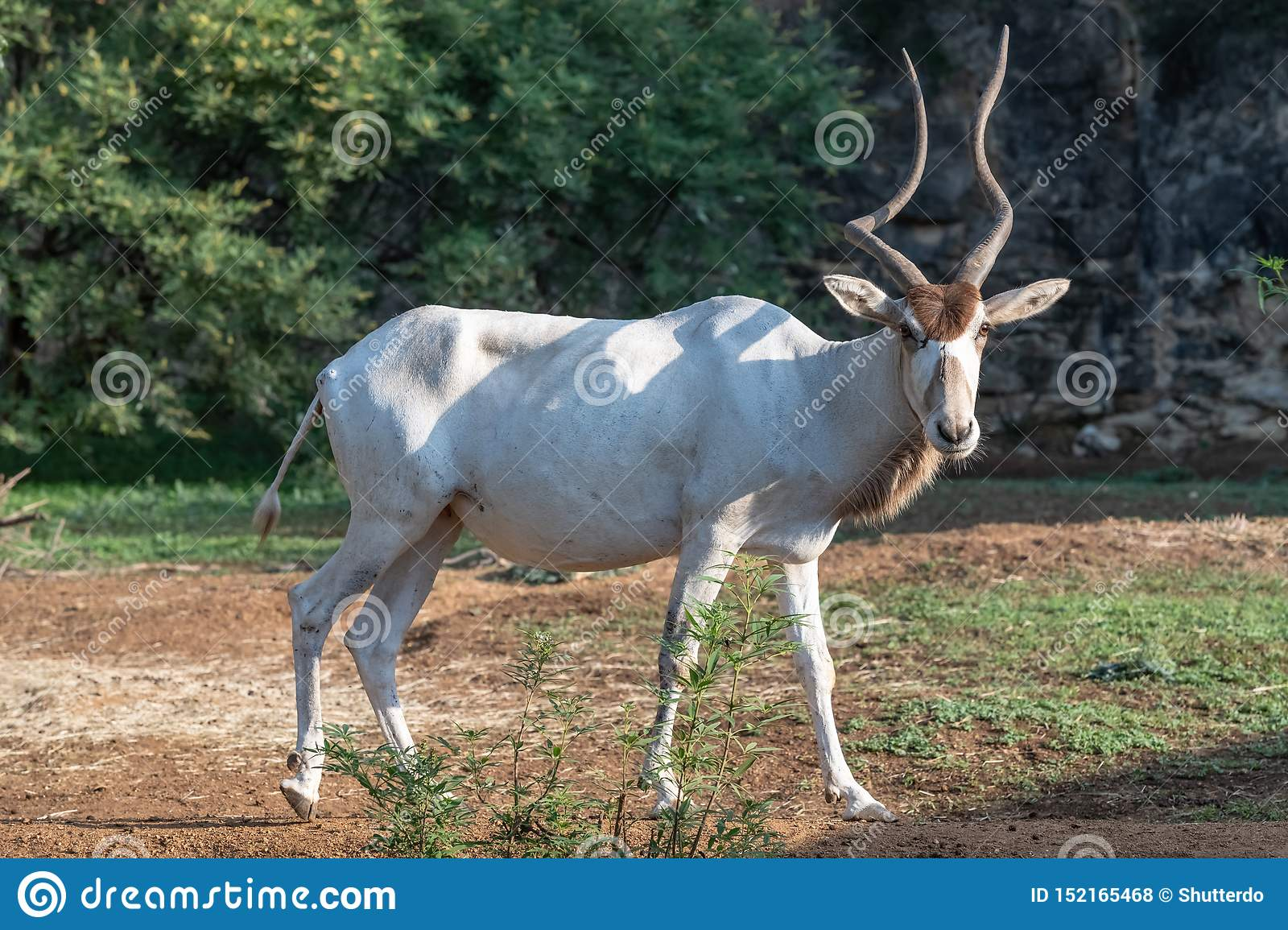 Full body of addax white antelop looking directly
