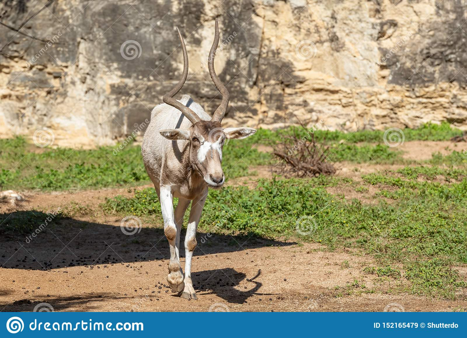 Full body of addax white antelope walking