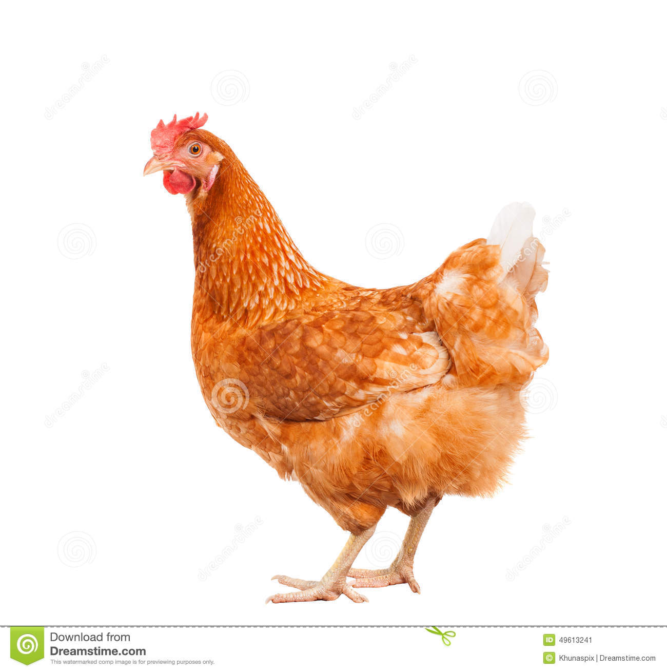 Full Body Of Brown Chicken Hen Standing Isolated White ...