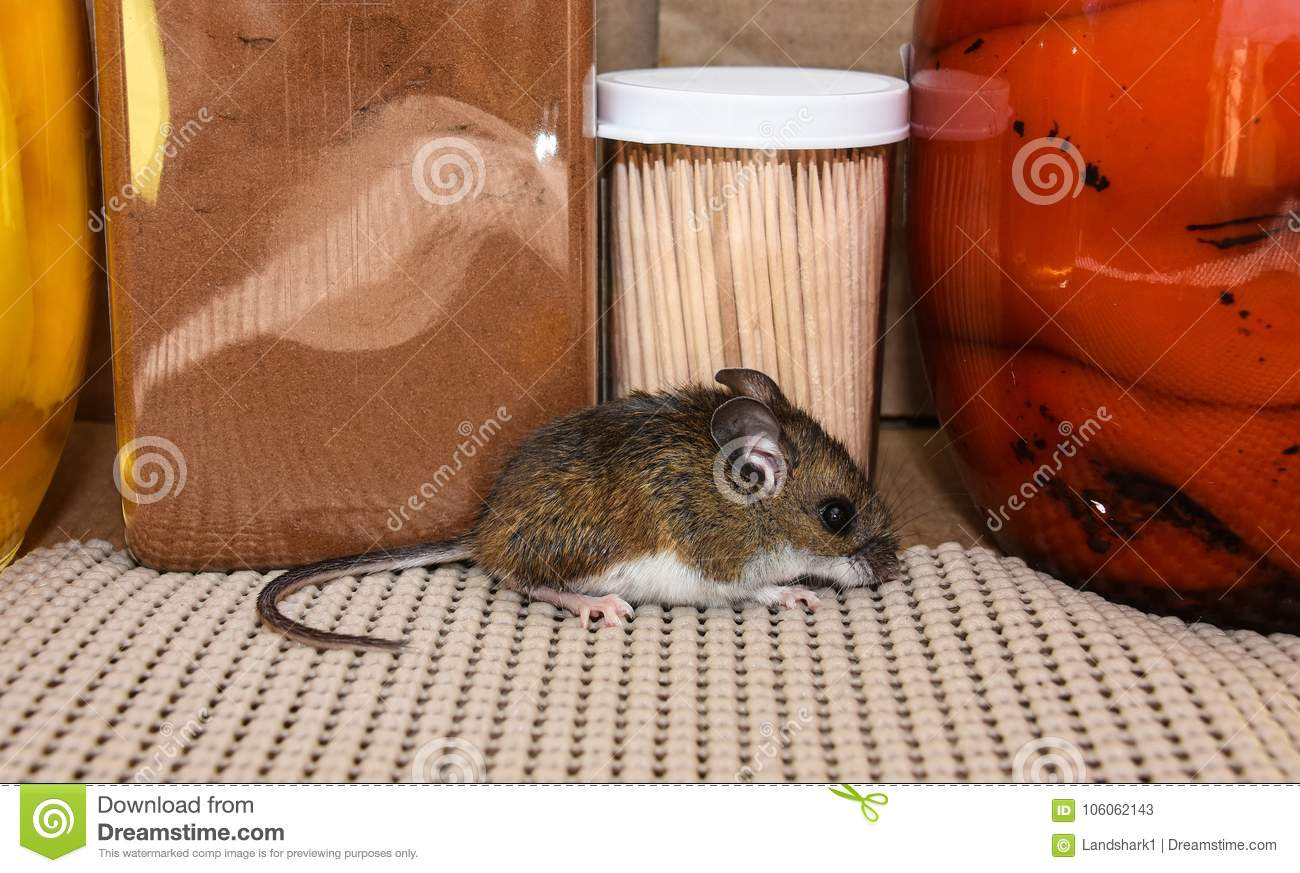 Full Body Side View Of A Wild Gray House Mouse In A Kitchen ...