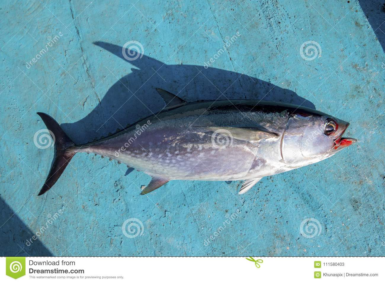 Full Body Of Tuna Fish On Blue Wood Of Fishing Boat Stock Image ...