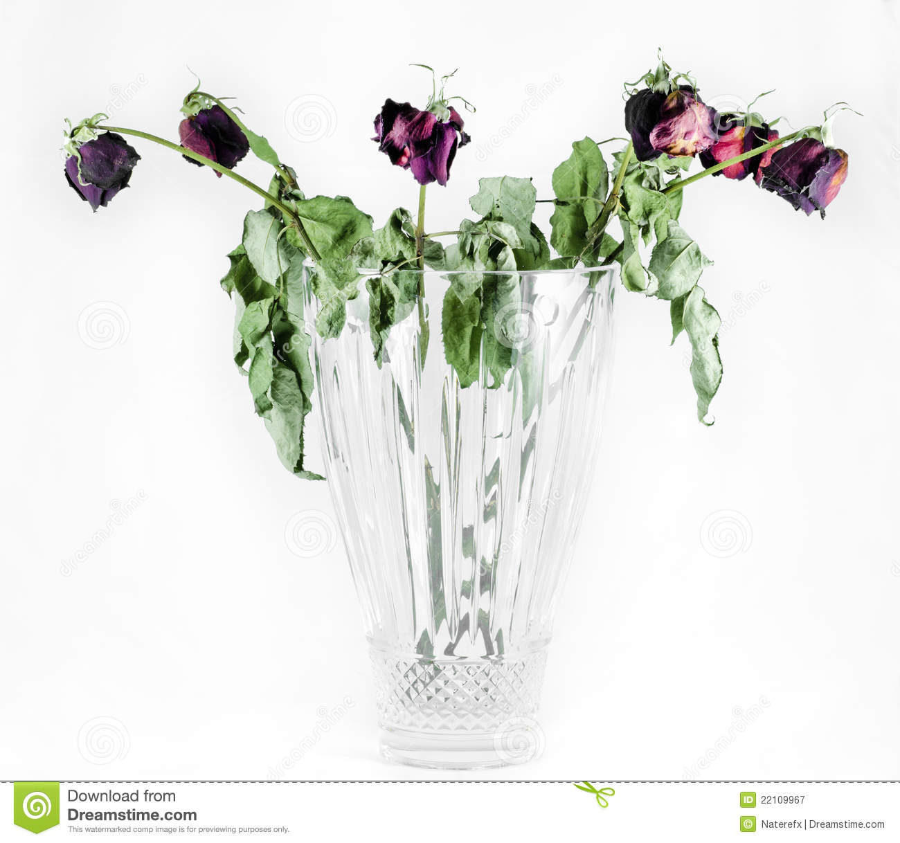 Full Dead Roses Stock Image Image Of Dying Background 22109967