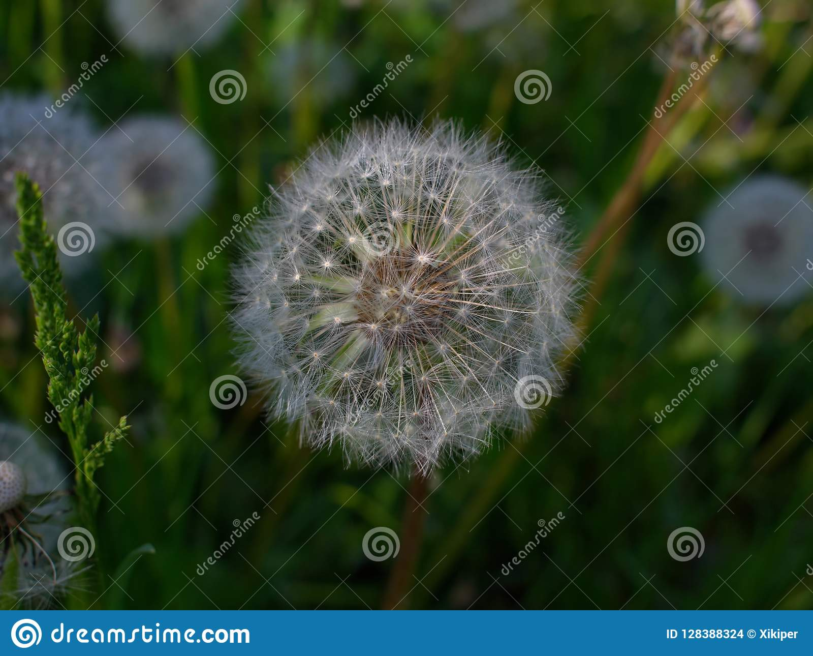 Full filled dandelion seeds waiting strong wind for voyage and b