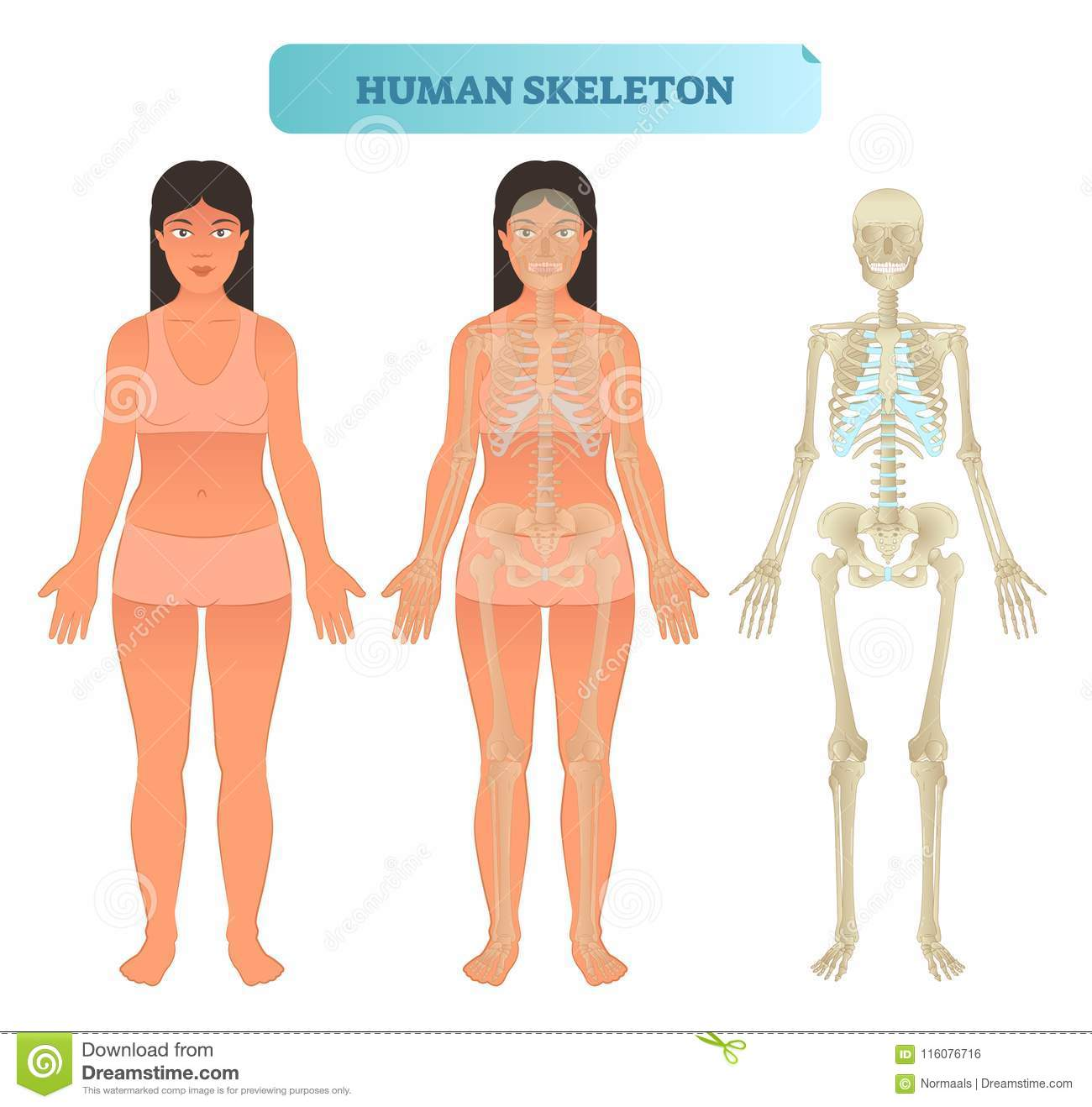 Human Skeletal System Anatomical Model Medical Vector Illustration