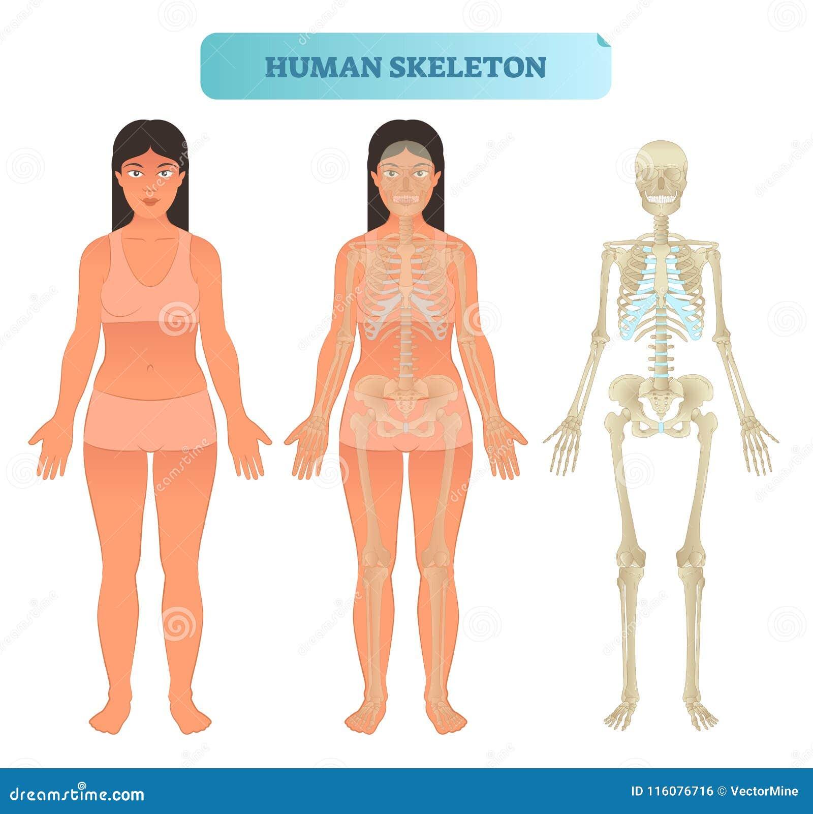 Human Skeletal System, Anatomical Model. Medical Vector Illustration ...