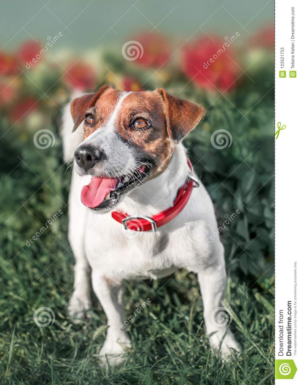 Full-length front portrait of adorable happy smiling small white and red dog jack russel terrier standing in flower bed in a summe