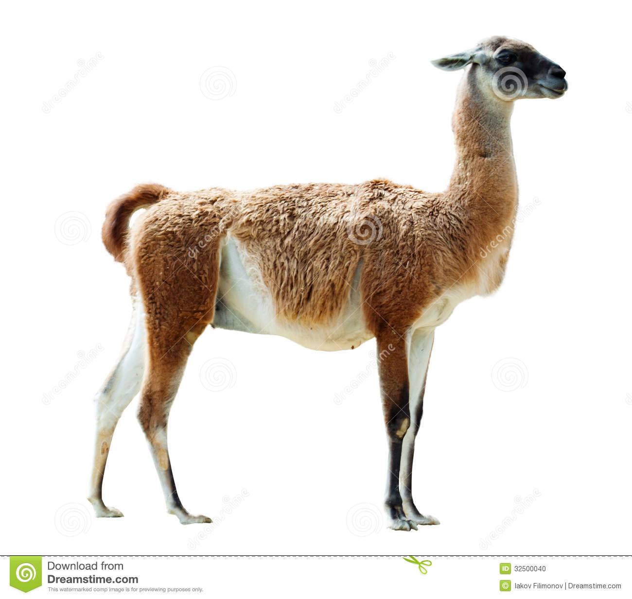 full length shot of guanaco stock photo image 32500040 free farm clipart images free farm clipart images