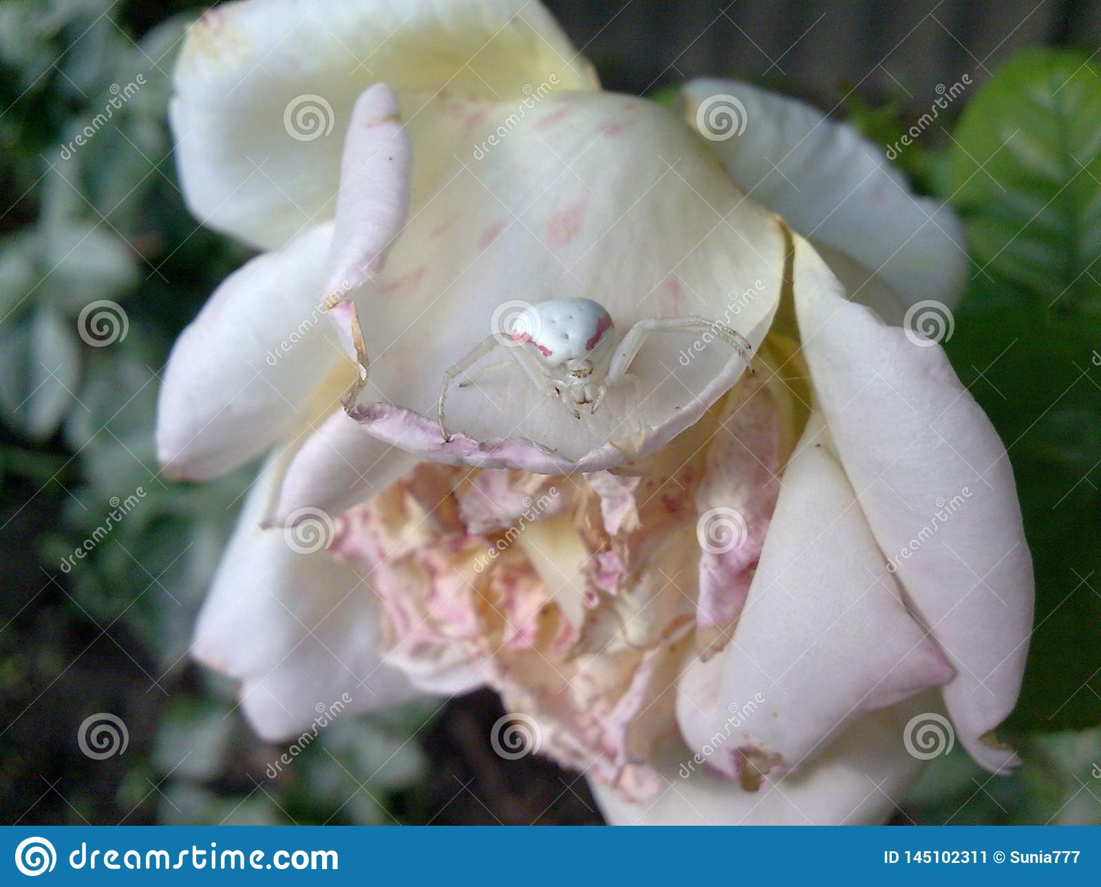 Full match white spider and faded white rose in the garden