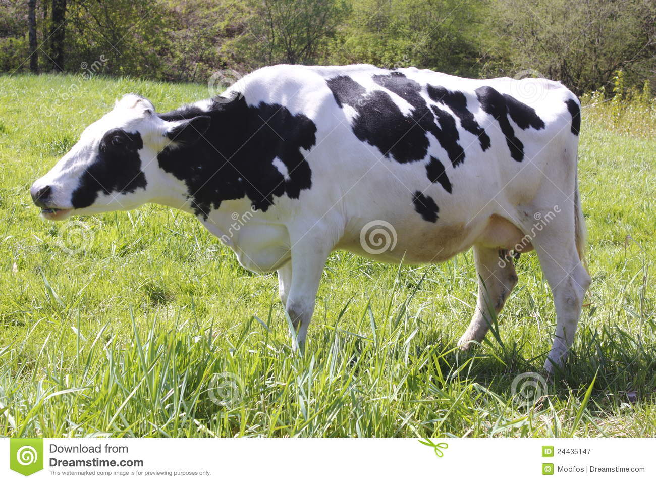 Cow Profile Stock Images, Royalty-Free Images & Vectors ... |Dairy Cow Head Profile