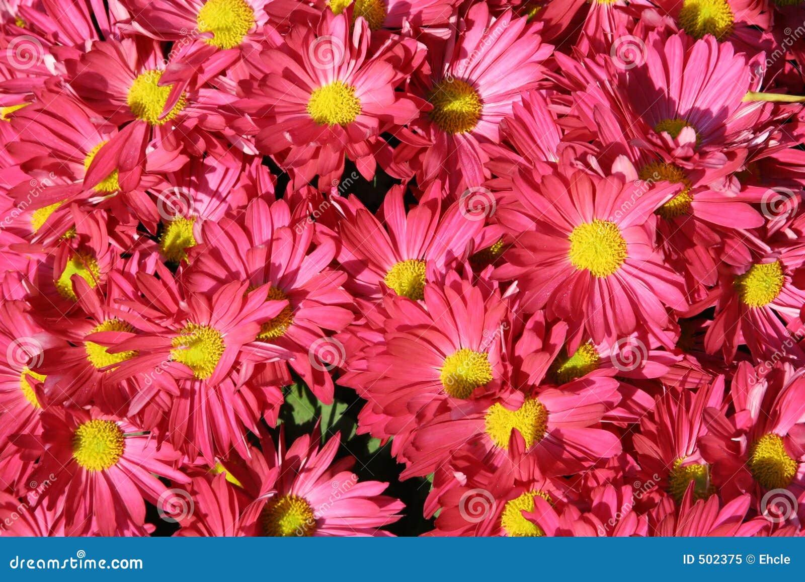 Full rosa skärm för blommor