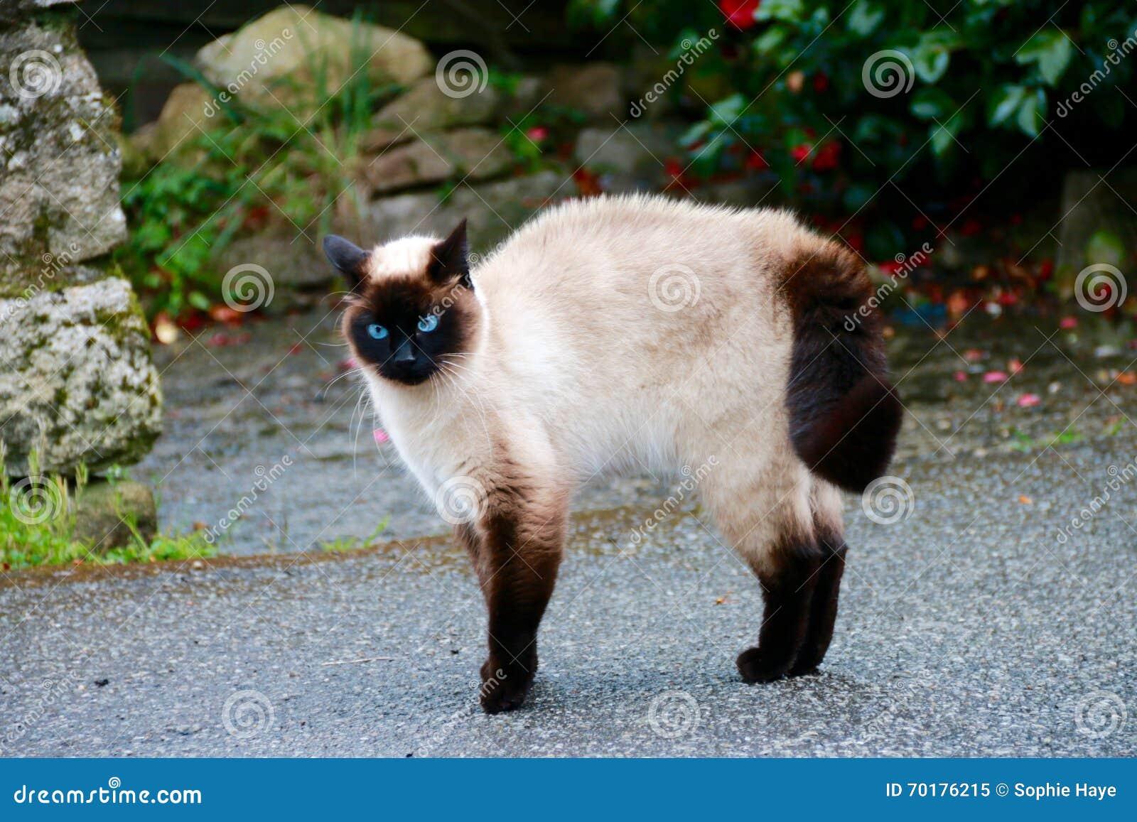 Fullblods- katt