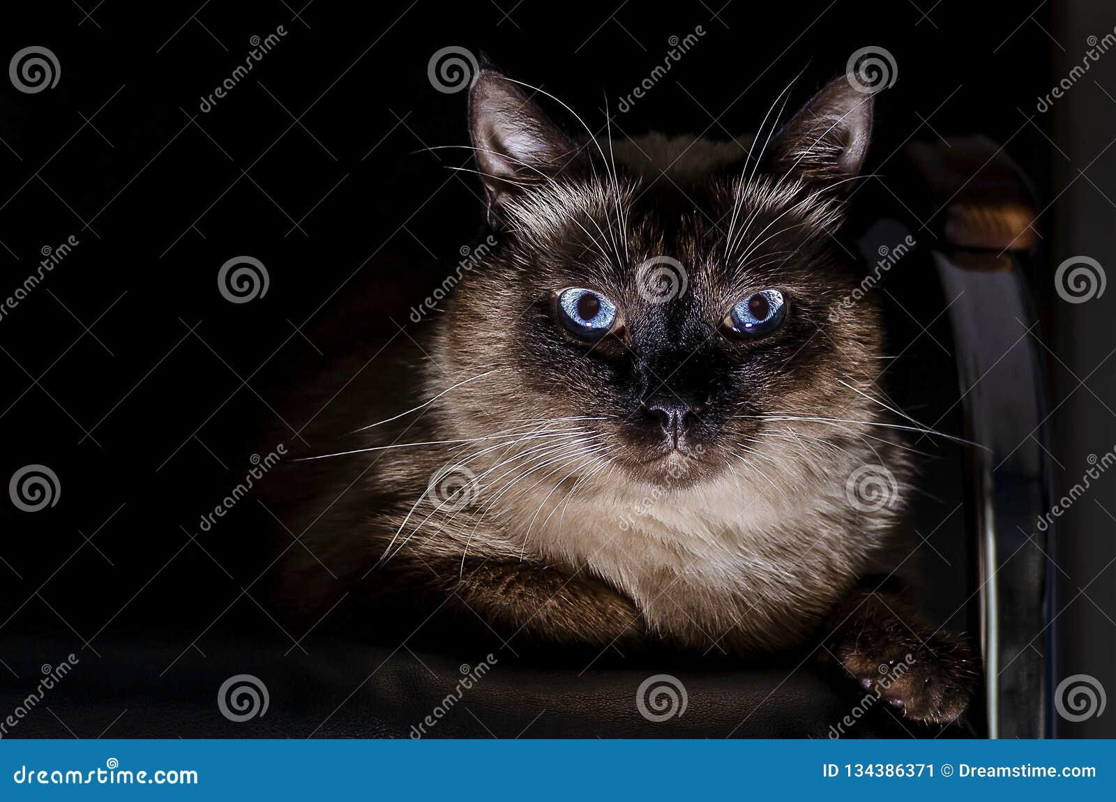 Fullblods- thailändsk katt med blåa ögon som sitter på soffan i sammanlagt mörker