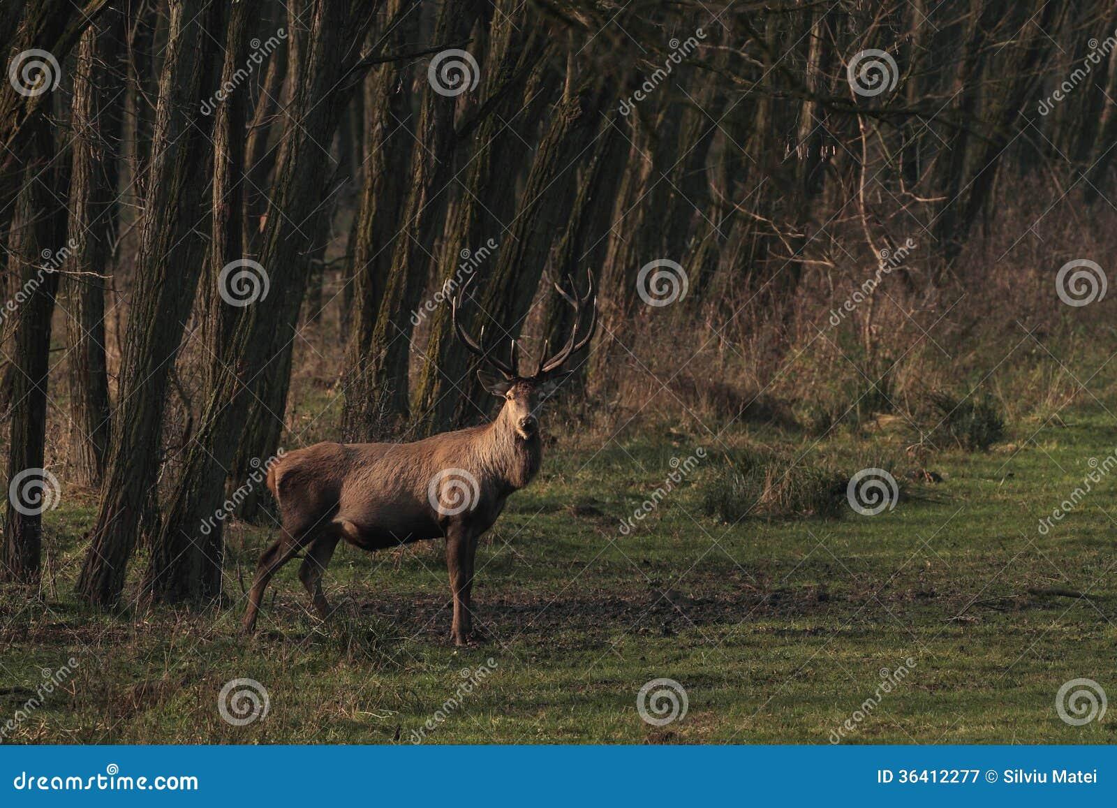 Fullvuxen hankronhjort för röda hjortar i skog