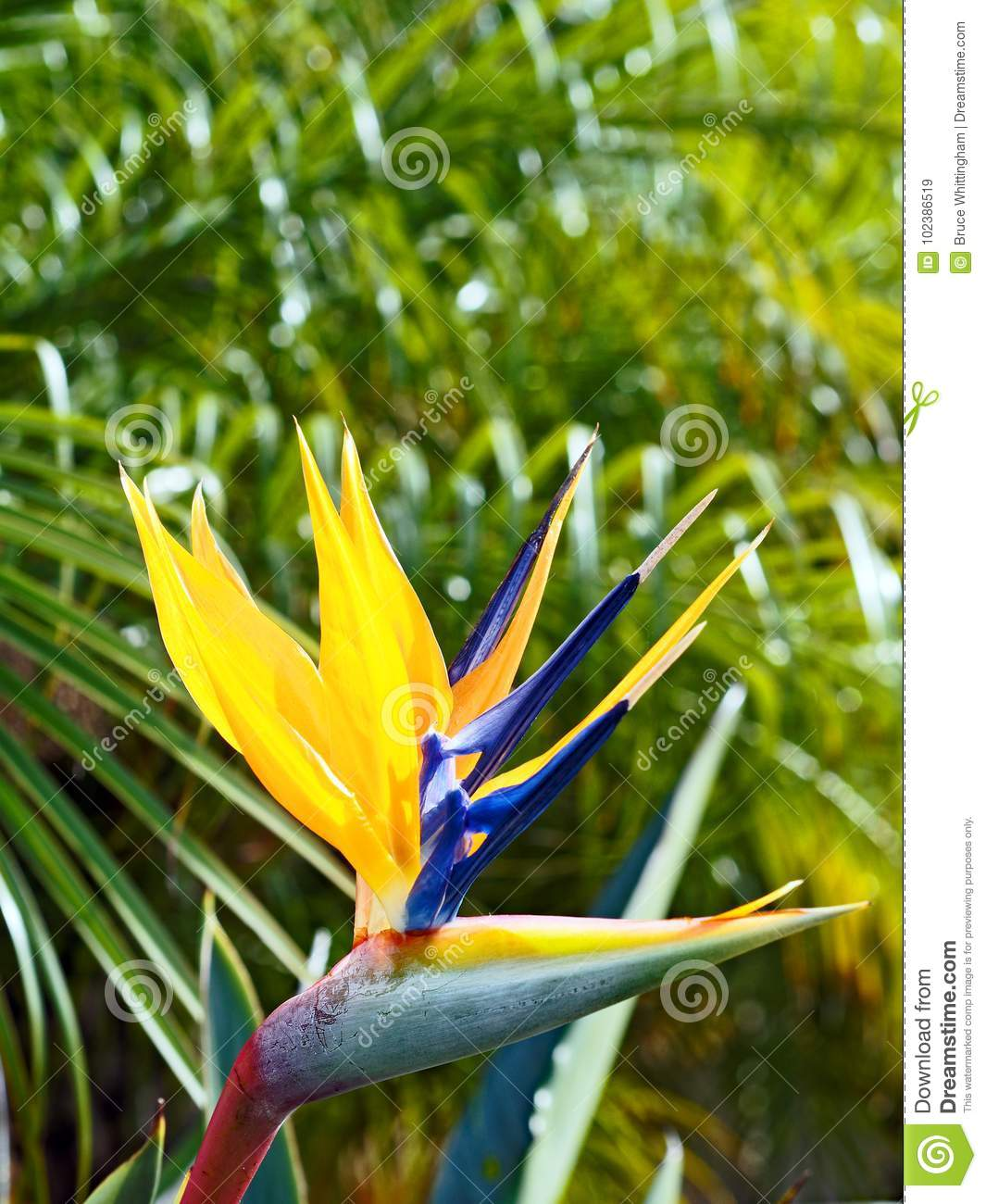 Colourful Bird of Paradise Flower