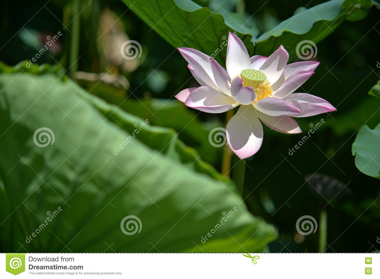 A fully blossomed lotus flower stock photo image of captured a fully blossomed lotus flower izmirmasajfo