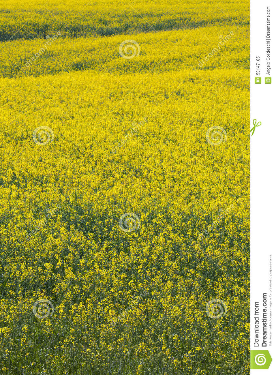 Fully flowered field, yellow flowers. Full spring natural background