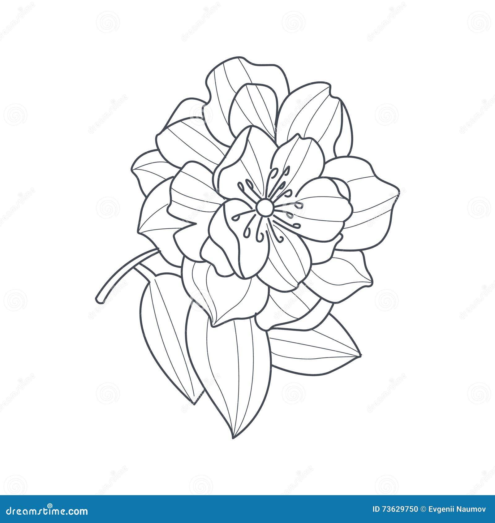 fully open peony flower monochrome drawing for coloring hydrangea clip art b&w hydrangea clipart border