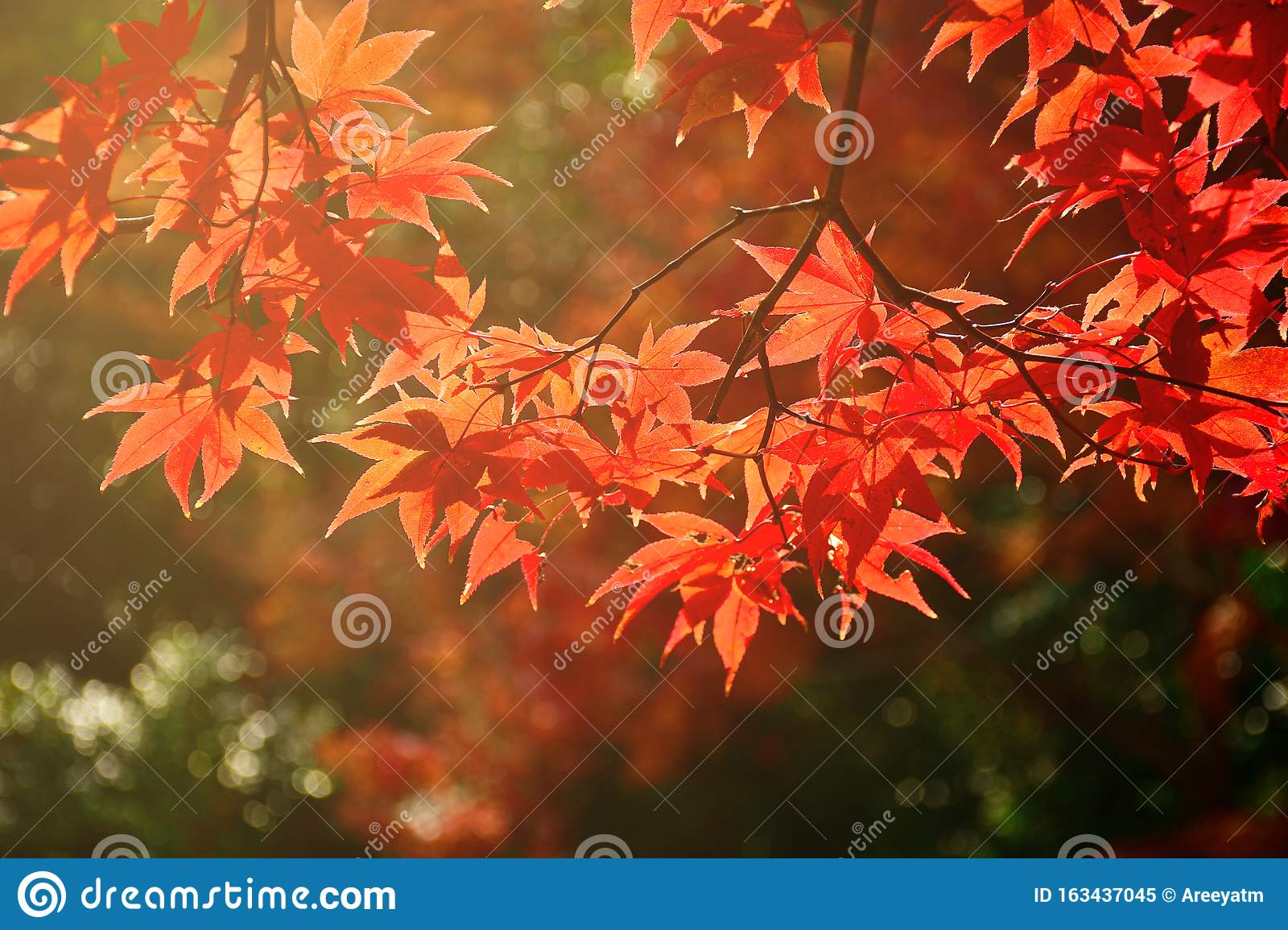 Fully red Maple leaves in Autumn