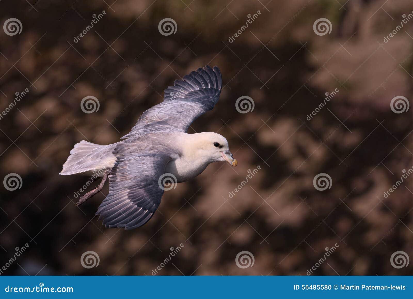 Fulmar du nord en vol au-dessus des falaises 2 d île de Skokholm