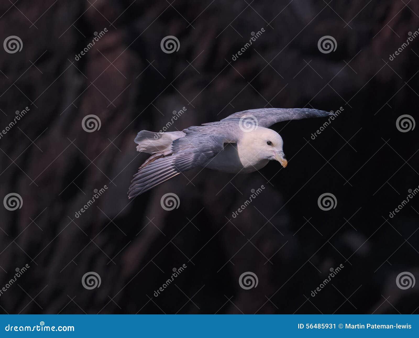 Fulmar du nord en vol au-dessus des falaises 3 d île de Skokholm