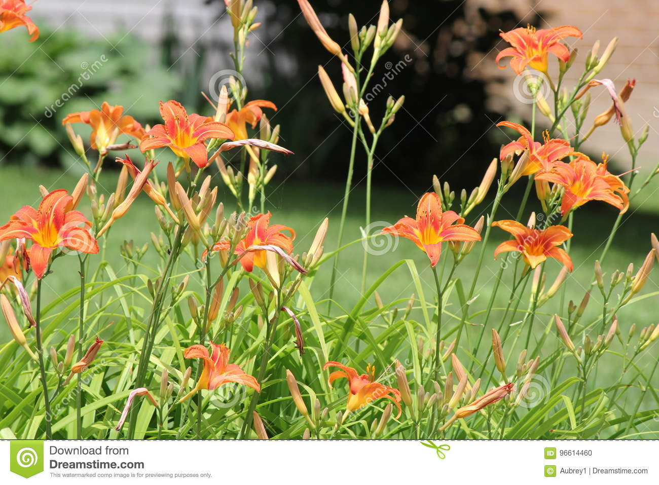 Fulva Hemerocallis-alaranjado do Hemerocallis