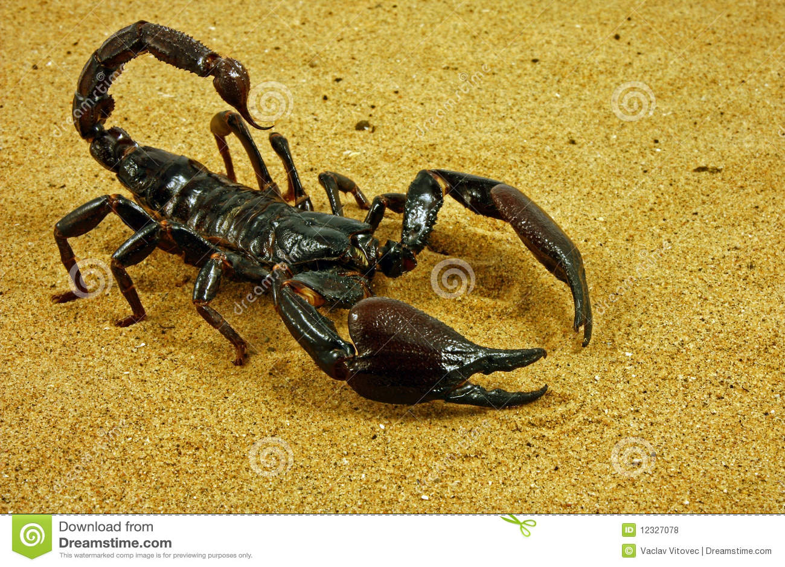 Fulvipes ptalamneus蝎子