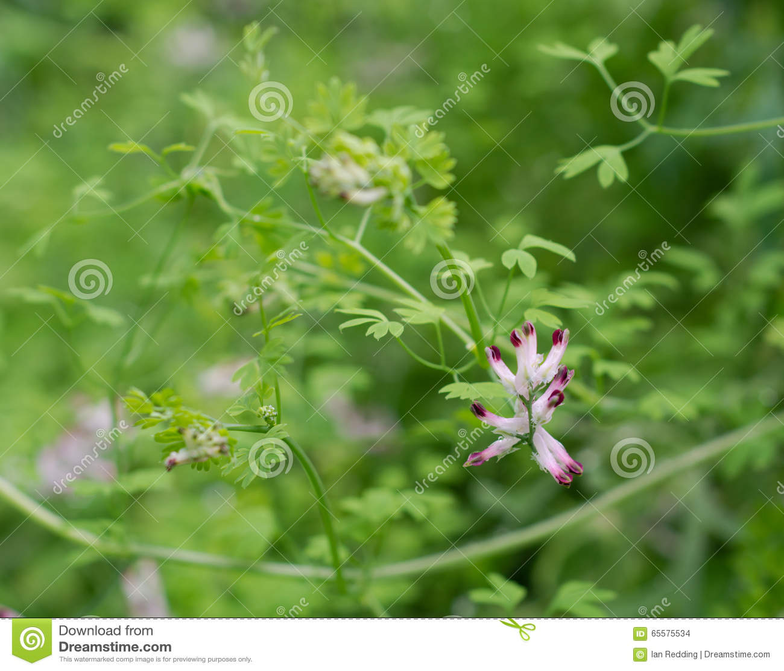 Fumitory comum (officinalis do Fumaria) na flor