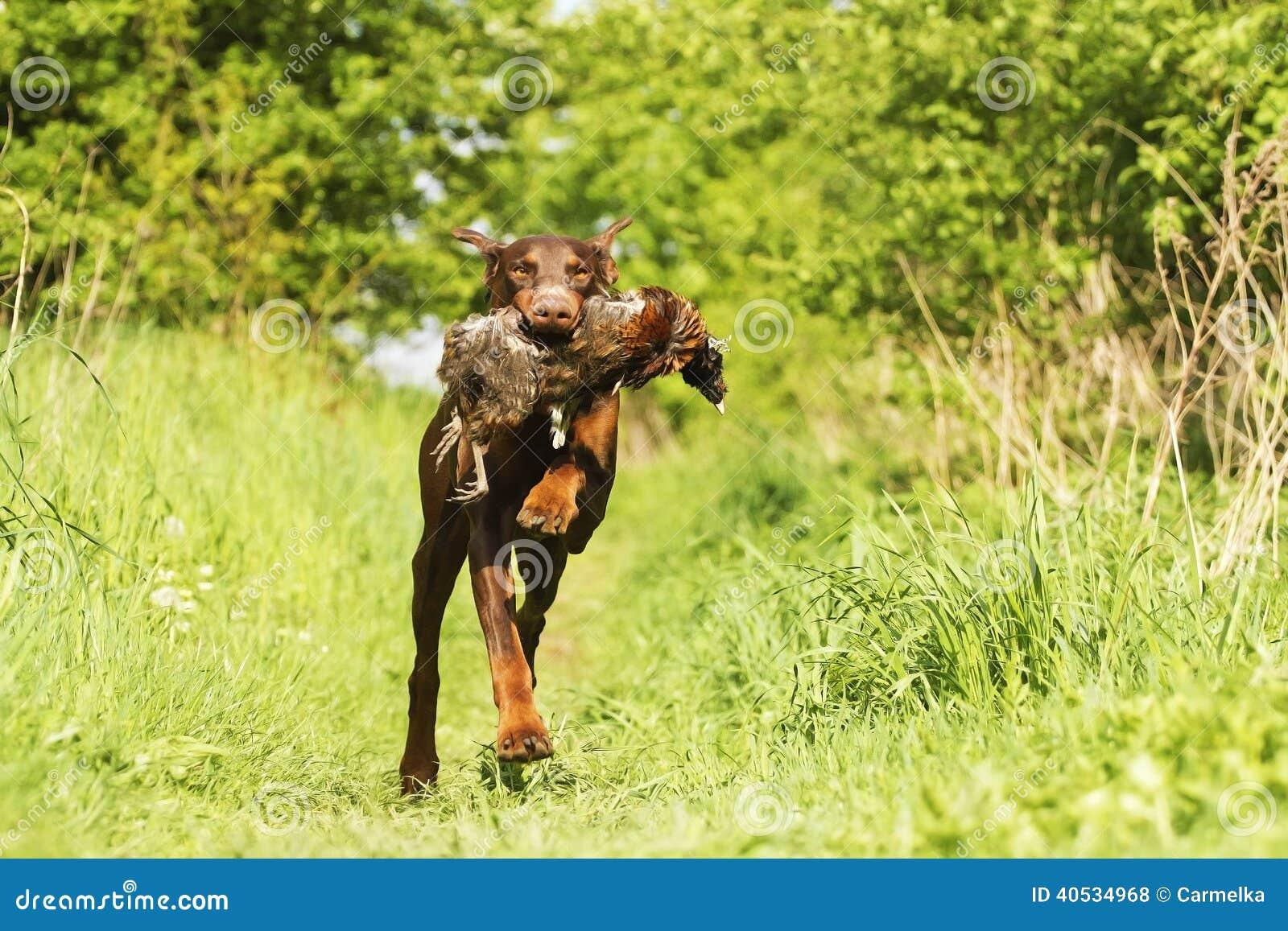 Doberman Dog Review